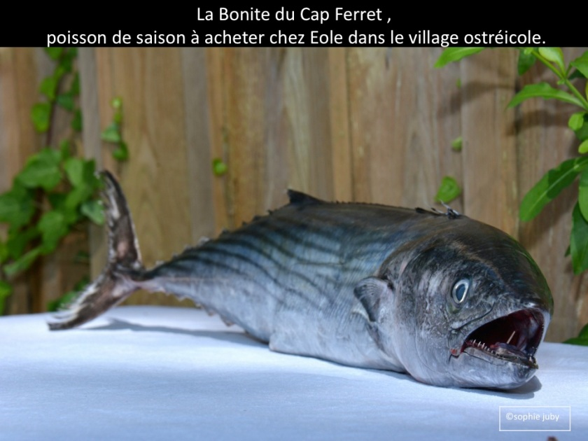 bonite du Cap Ferret, poisson Eole